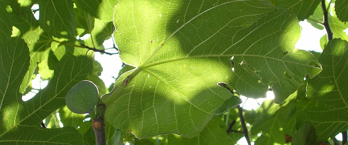 Fig_and_leaf_Thasos
